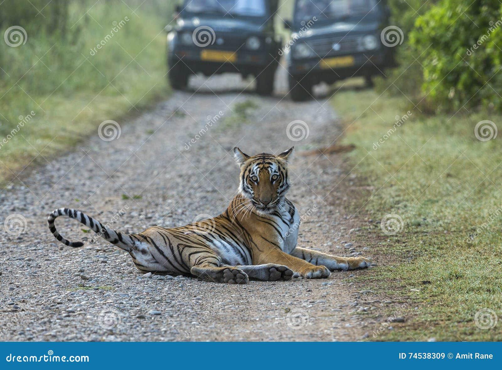 Tiger auf Straße