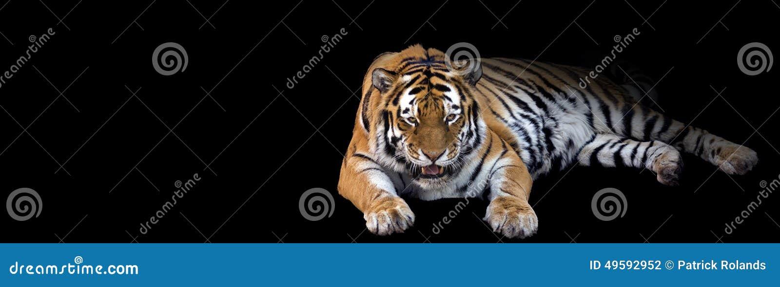 Tiger Banner di ringhio