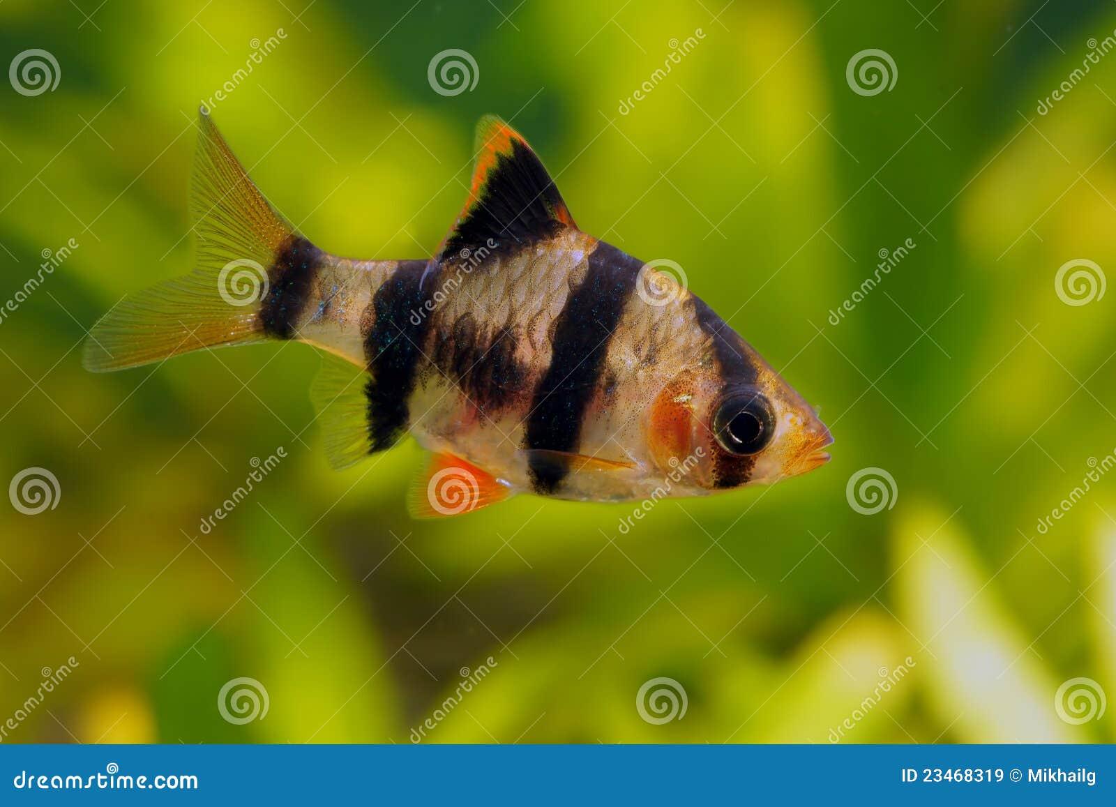 Tiger barb or Sumatra barb fish in the aquarium.