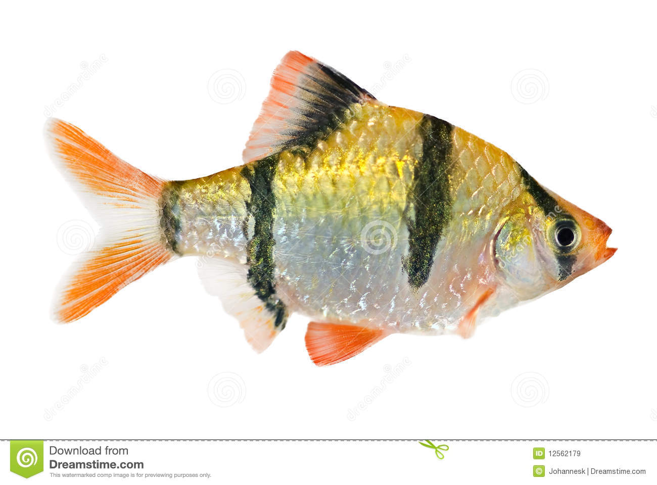 Tiger barb fish stock image image of yellow tiger for Tiger fish pictures