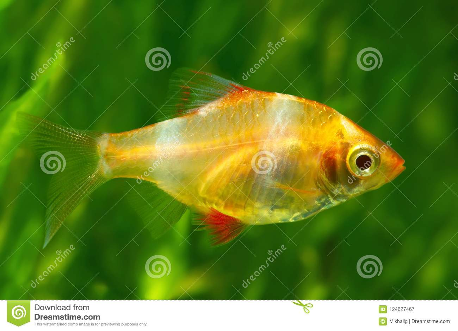 Tiger Barb Or Sumatra Barb Glofish Stock Image Image Of Electric