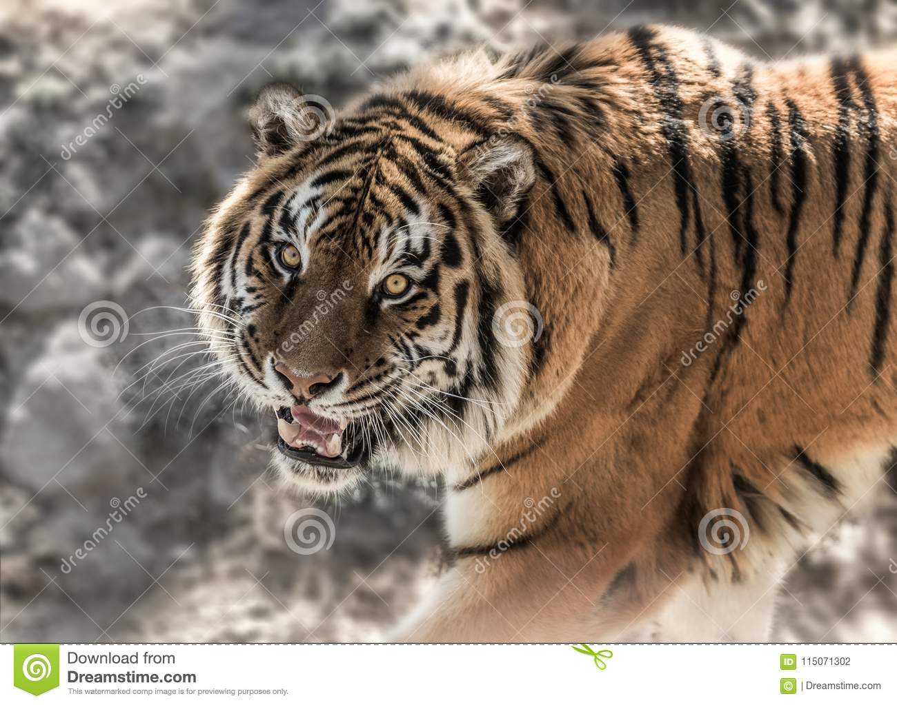 tiger with baring teeth on the stone background in daytime stock
