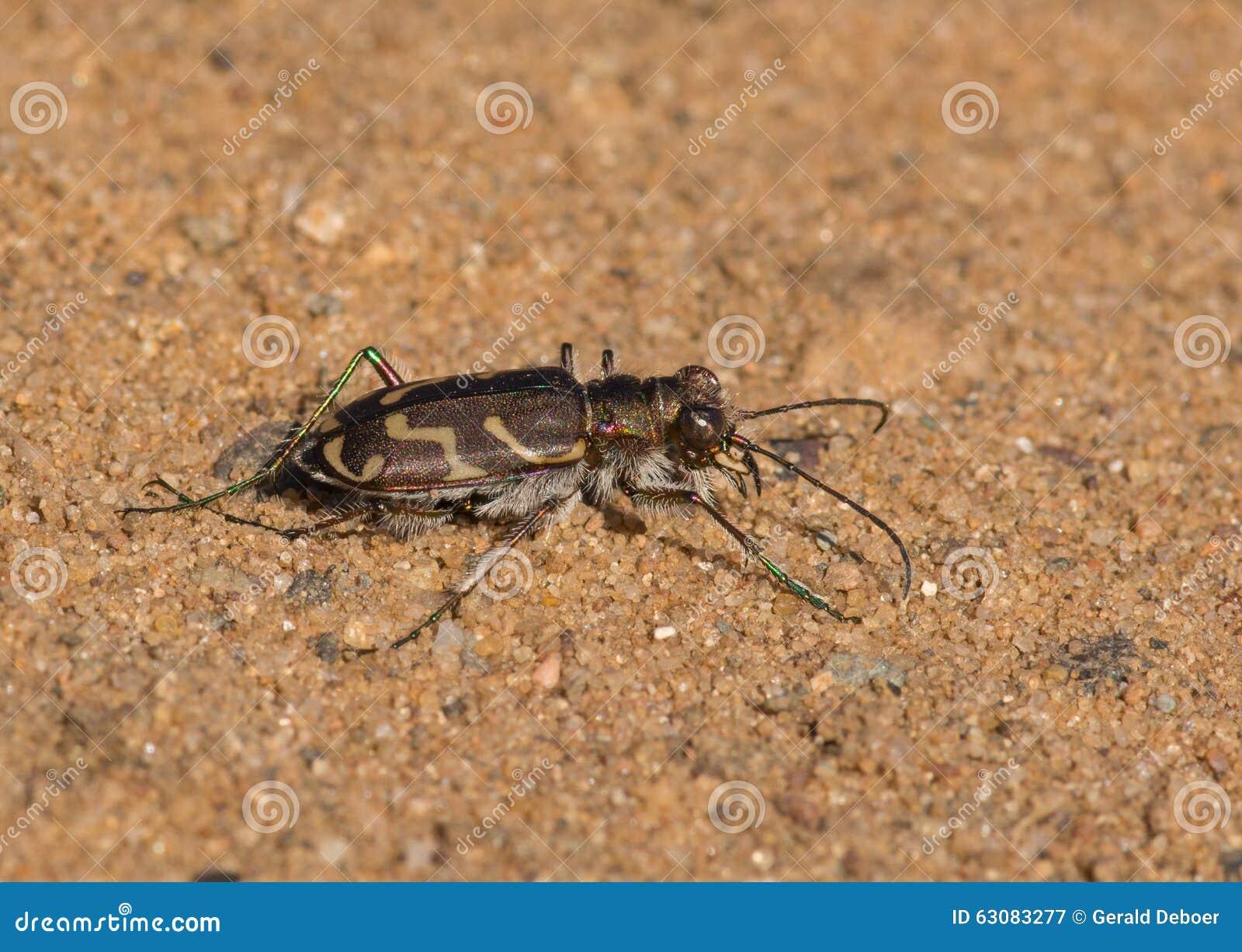 Download Tiger Beetle bordé oblique image stock. Image du anomalie - 63083277