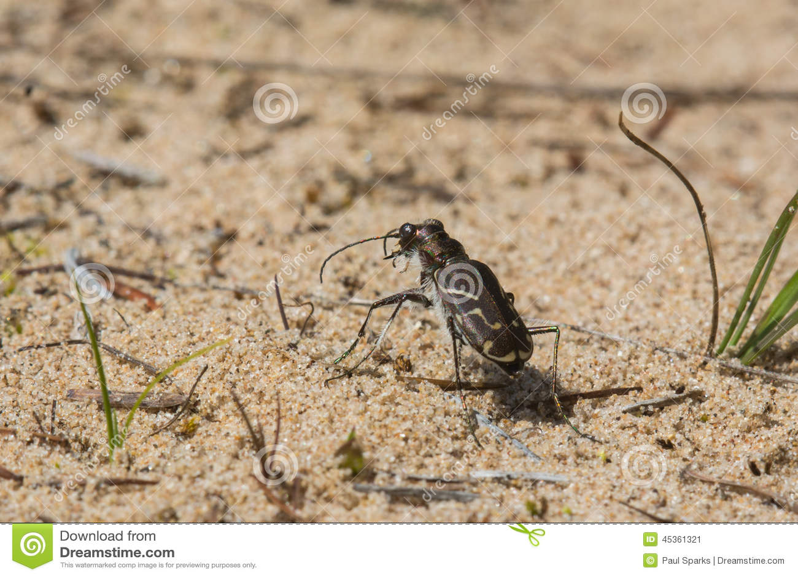 Tiger Beetle bordé Obliqued