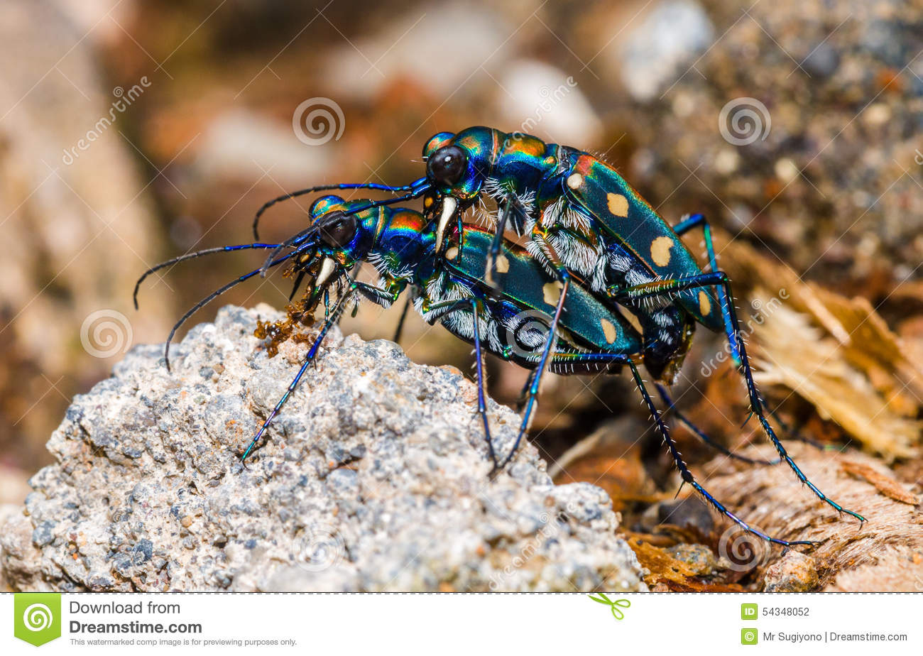 Tiger bug mating stock photo. Image of mating, java, indonesia ...