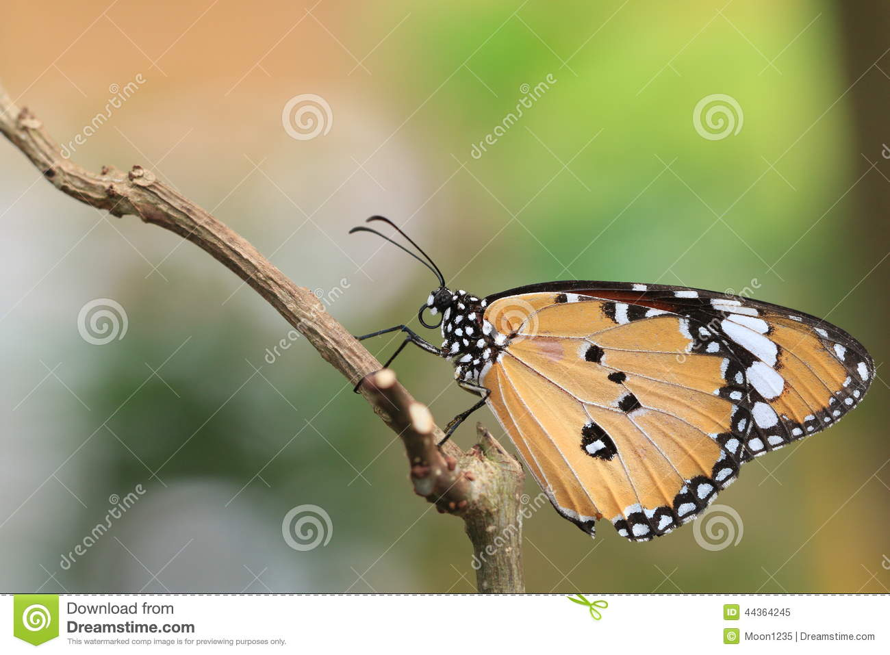 TIger Butterfly comune
