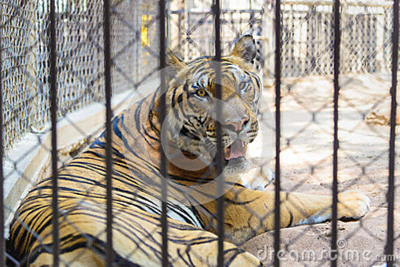 Tiger in cage of the zoo stock image image of tiger 68360949 - Tiger in cage images ...