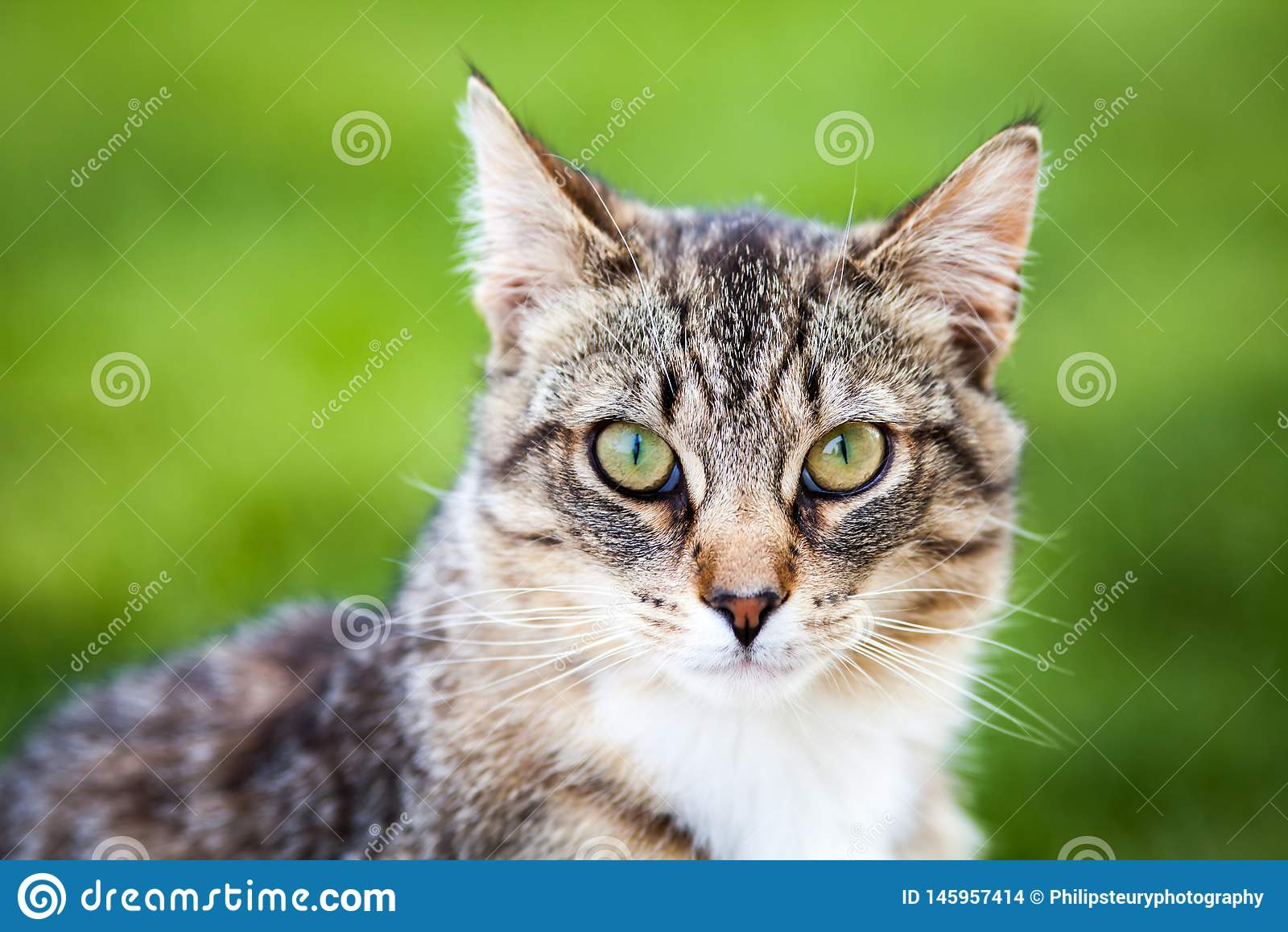 Tiger Cat bonito