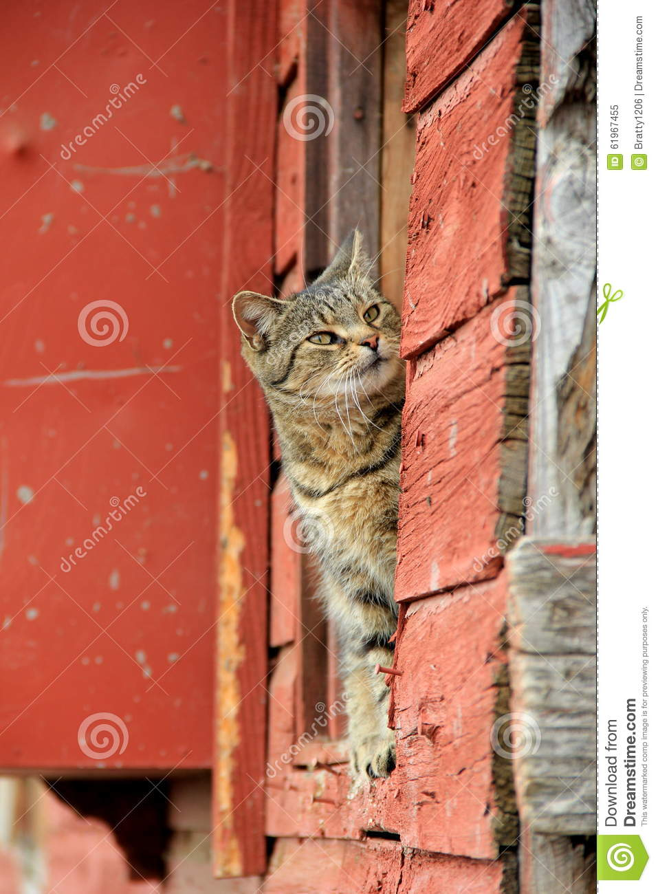Tiger Cat Peeking Out From Ledge Of Red Barn Stock Photo ...