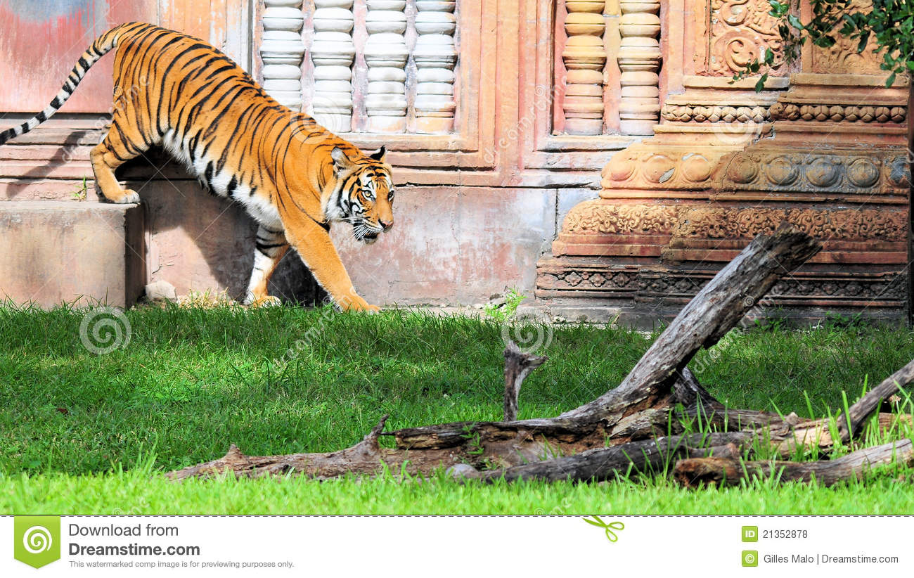 Tiger Climbing Down stock photo. Image of tigers, mammal ...