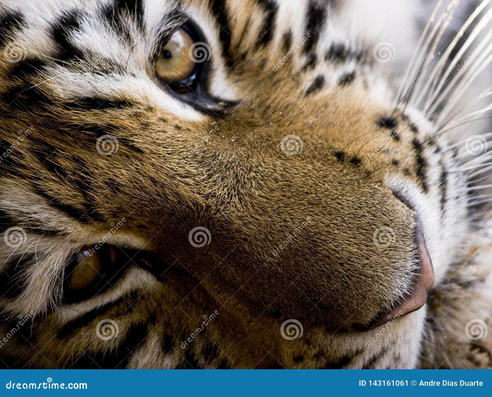 Tiger close-up portrait