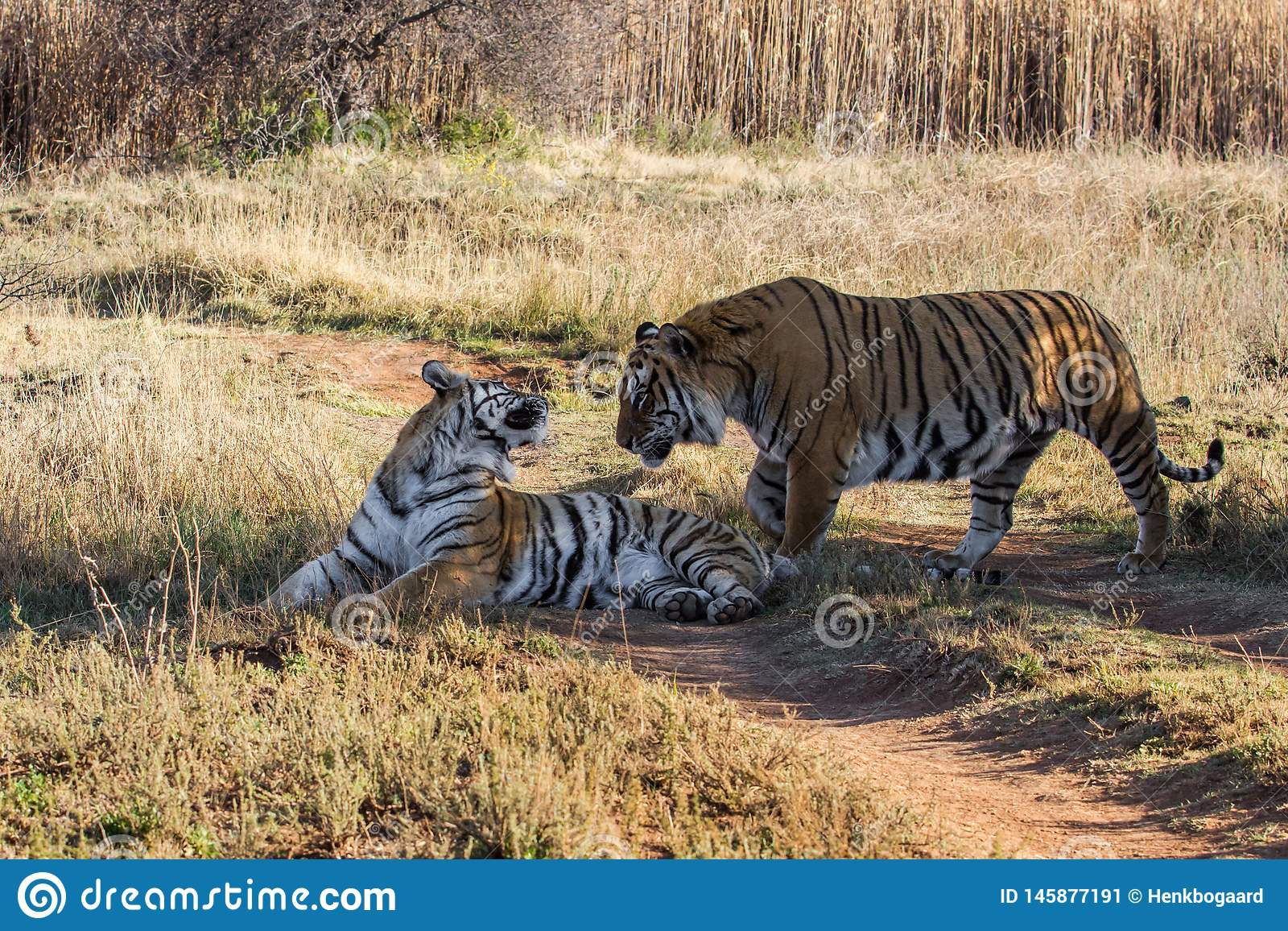 Tiger couple in game reserve in south africa