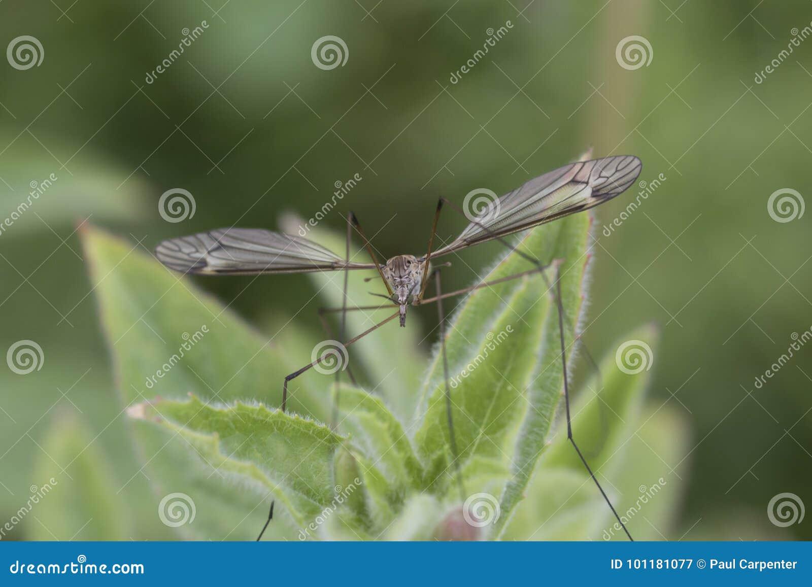 Tiger cranefly portrait