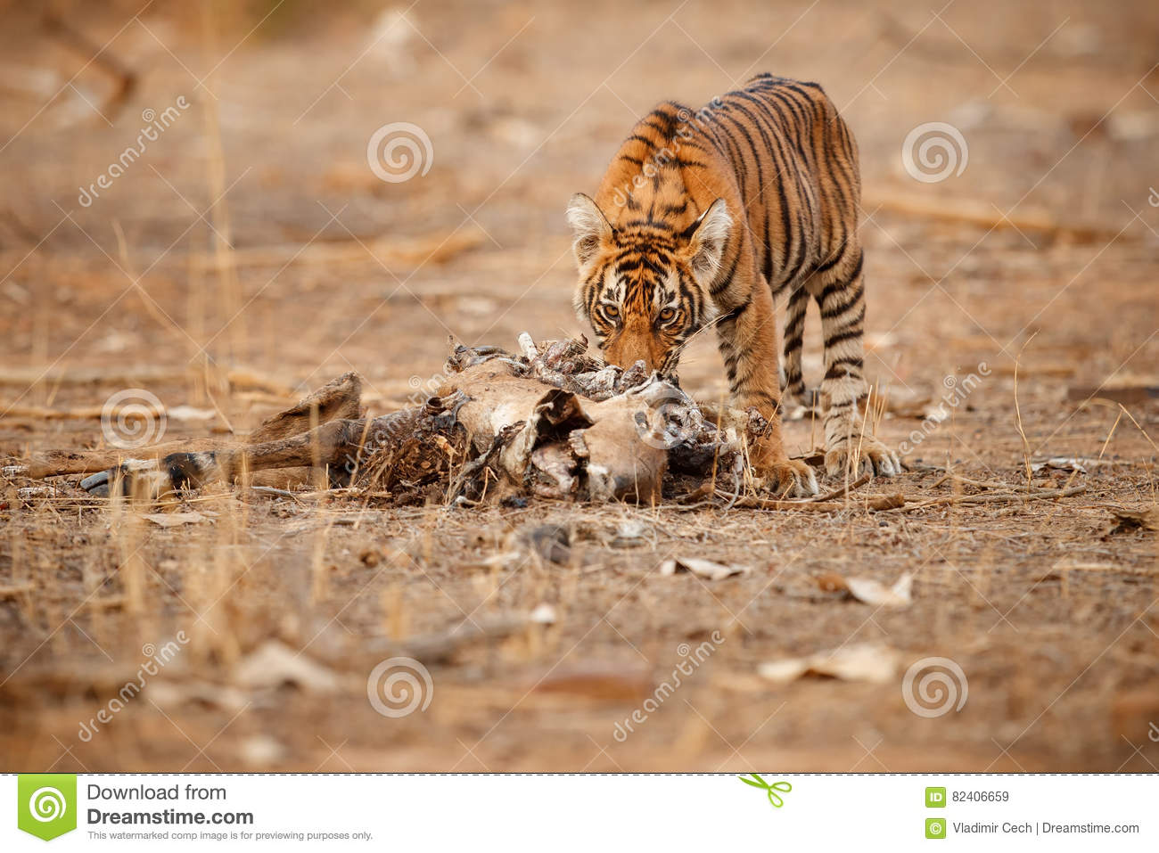 Tiger cub in a beautiful light in the nature habitat of Ranthambhore National Park
