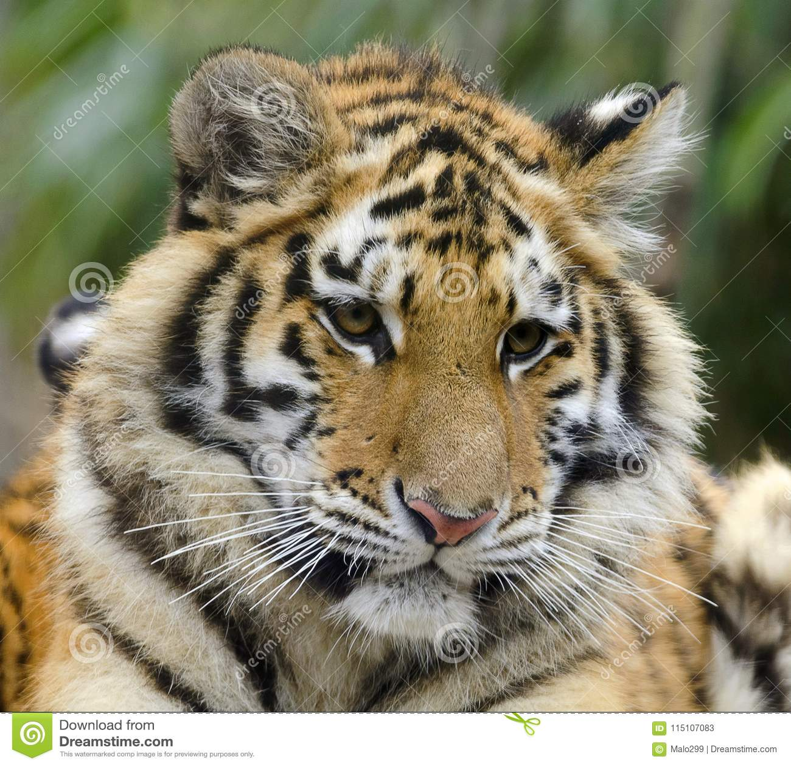 Cute tiger cub with pensive expression stock image image of download cute tiger cub with pensive expression stock image image of stripes immature altavistaventures Images