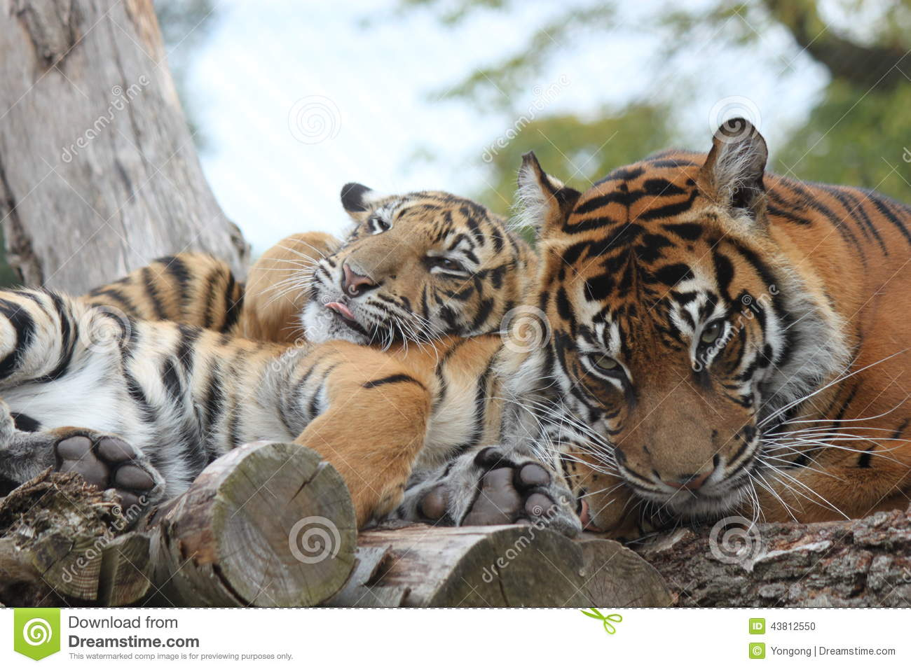 Tiger Nap Stock Image | CartoonDealer.com #23923423