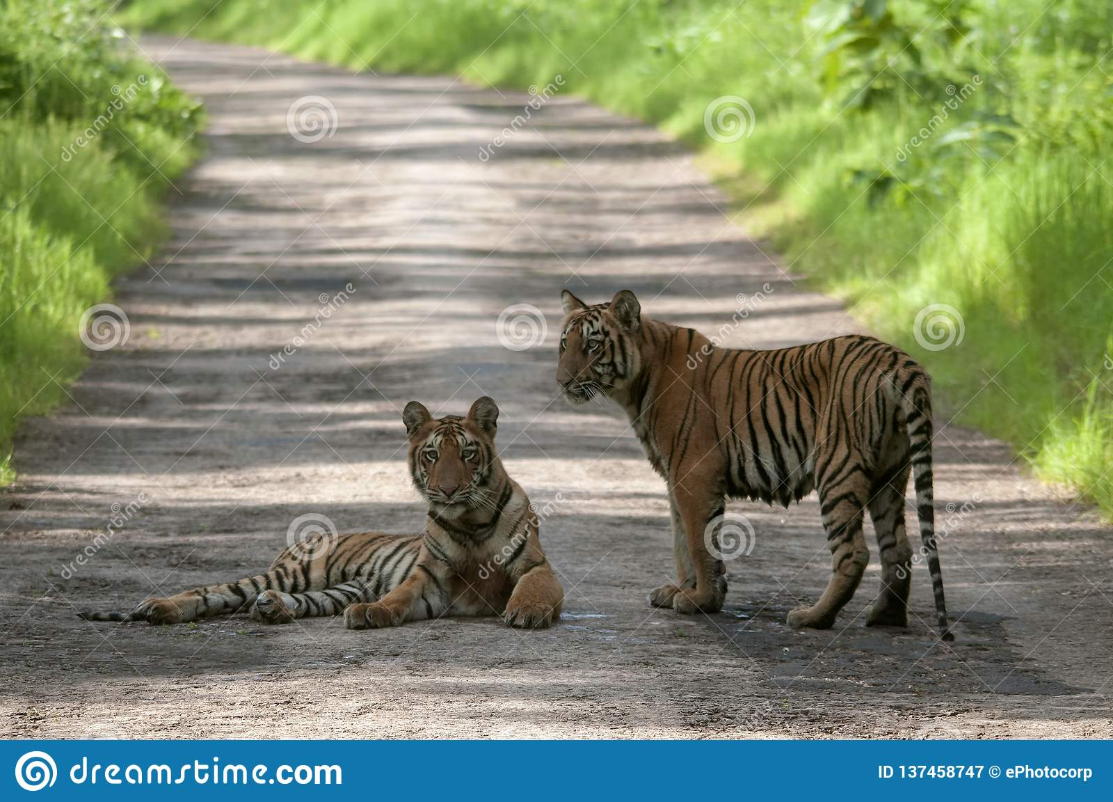 Tiger Cubs en el camino en Tadoba, Chandrapur, maharashtra, la India
