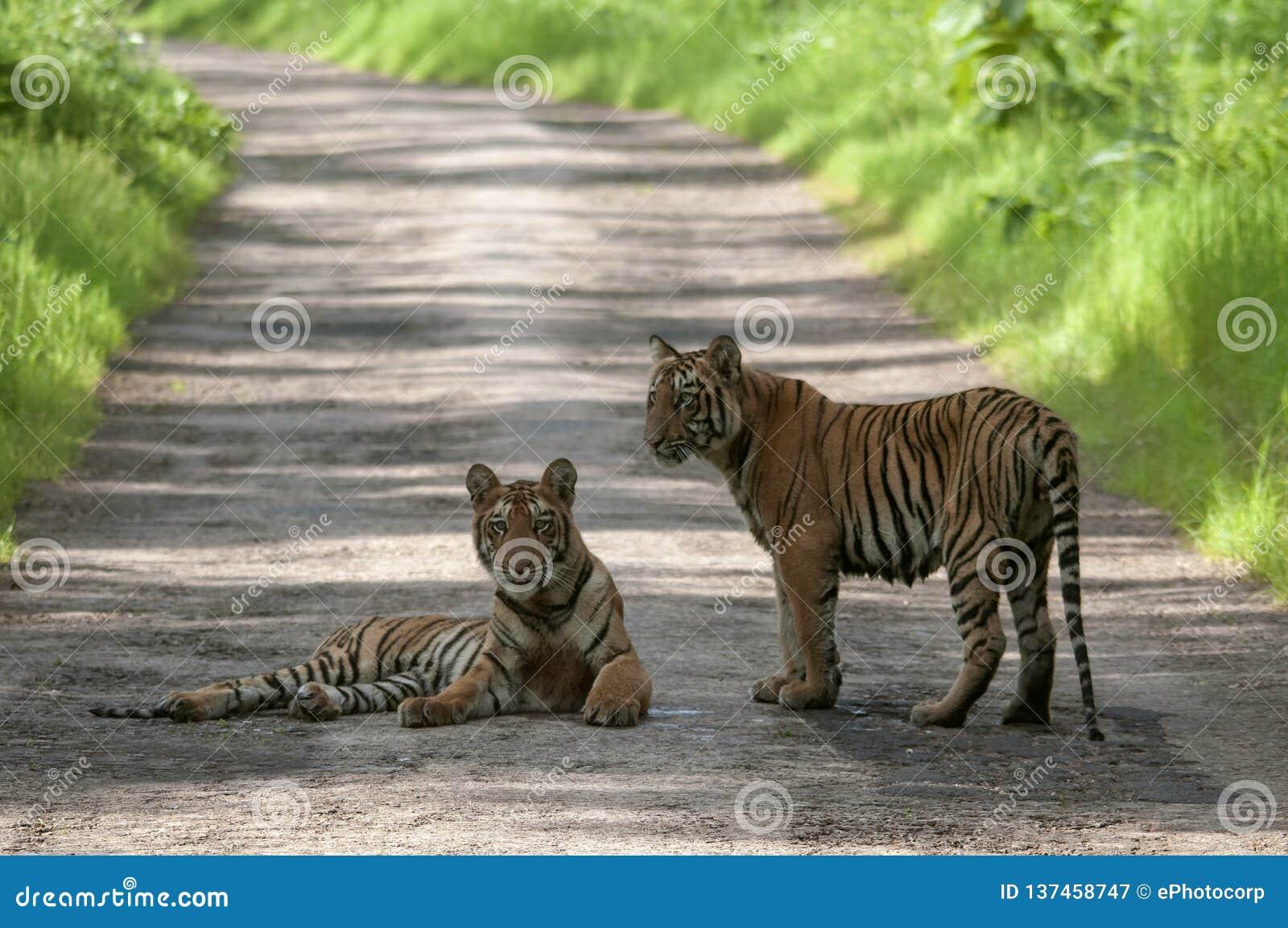 Tiger Cubs på vägen på Tadoba, Chandrapur, Maharashtra, Indien