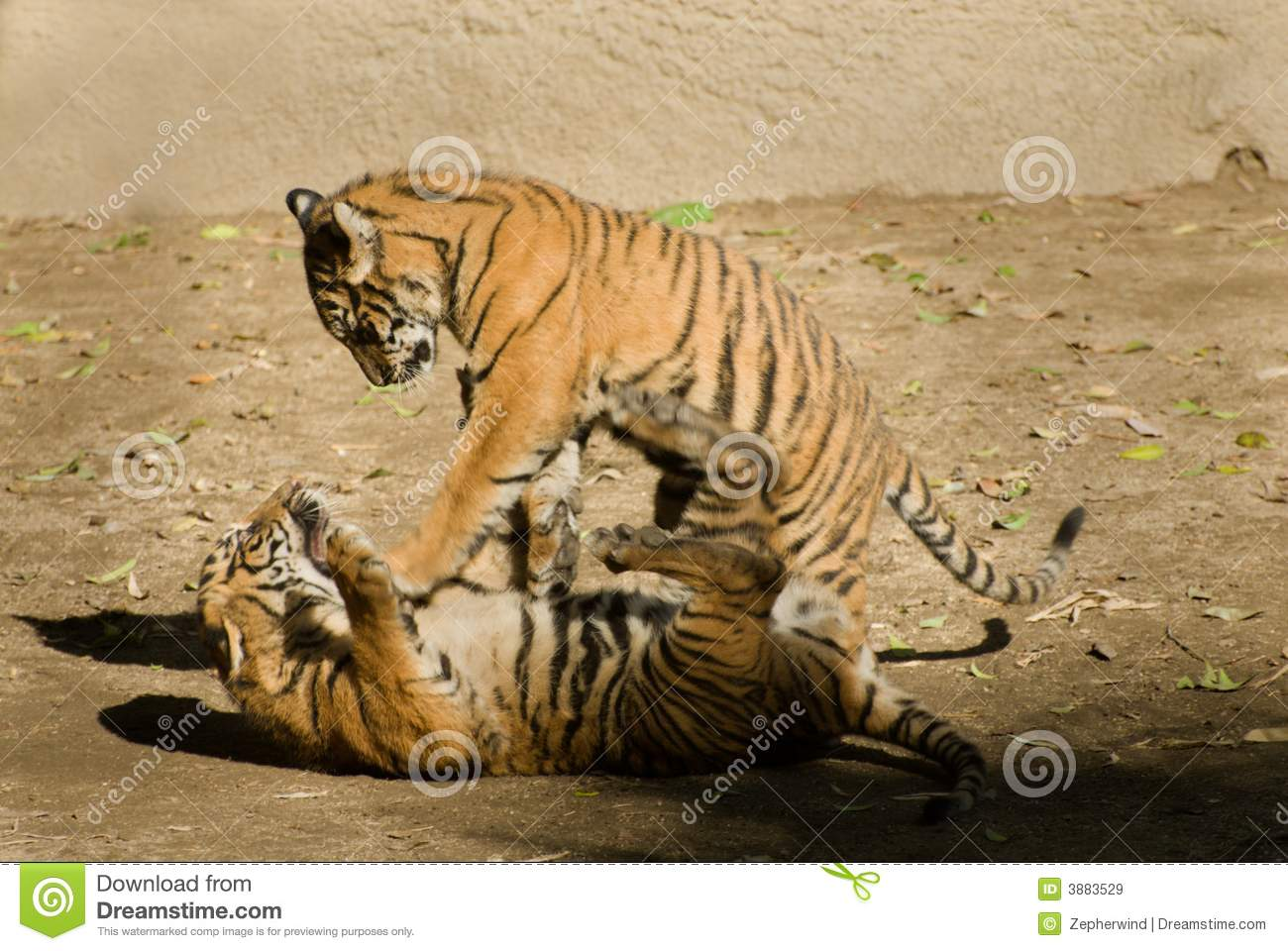 Tiger cubs playing stock image. Image of stripes, orange ...
