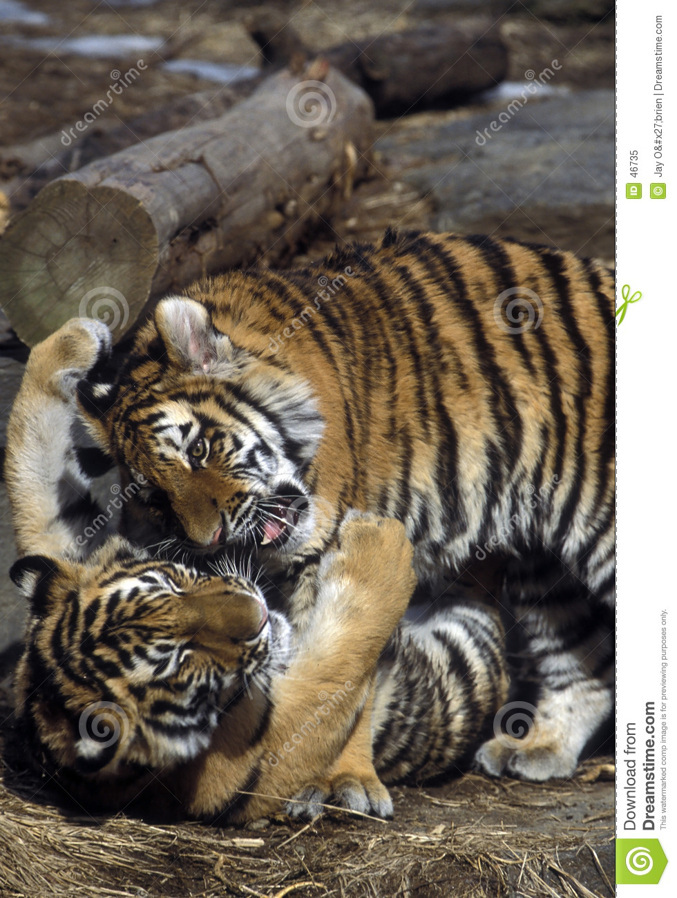 Tiger Cubs Playing Royalty Free Stock Photo - Image: 46735 Cute Siberian Tiger Cubs