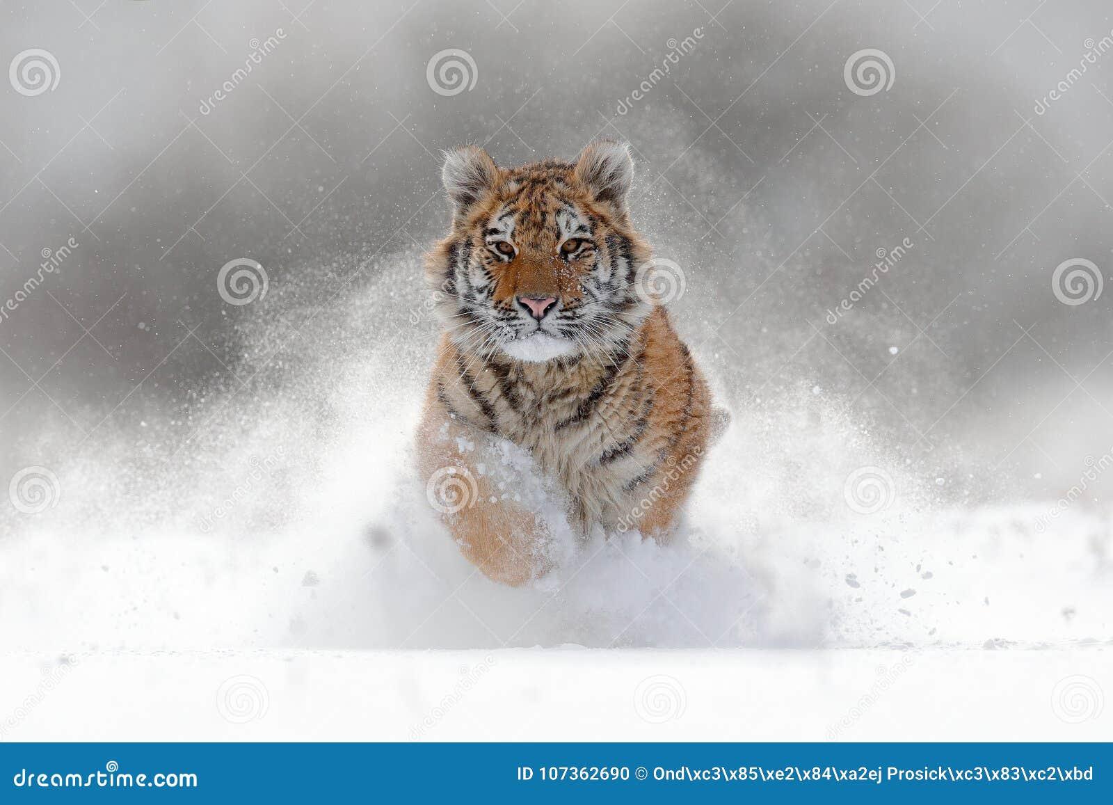 Tiger in der wilden Winternatur Amur-Tiger, der in den Schnee läuft Szene der Aktionswild lebenden tiere mit Gefahrentier Kalter