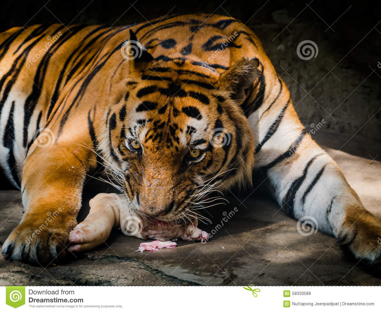 Tiger eating meat in a zoo stock image. Image of flesh ...