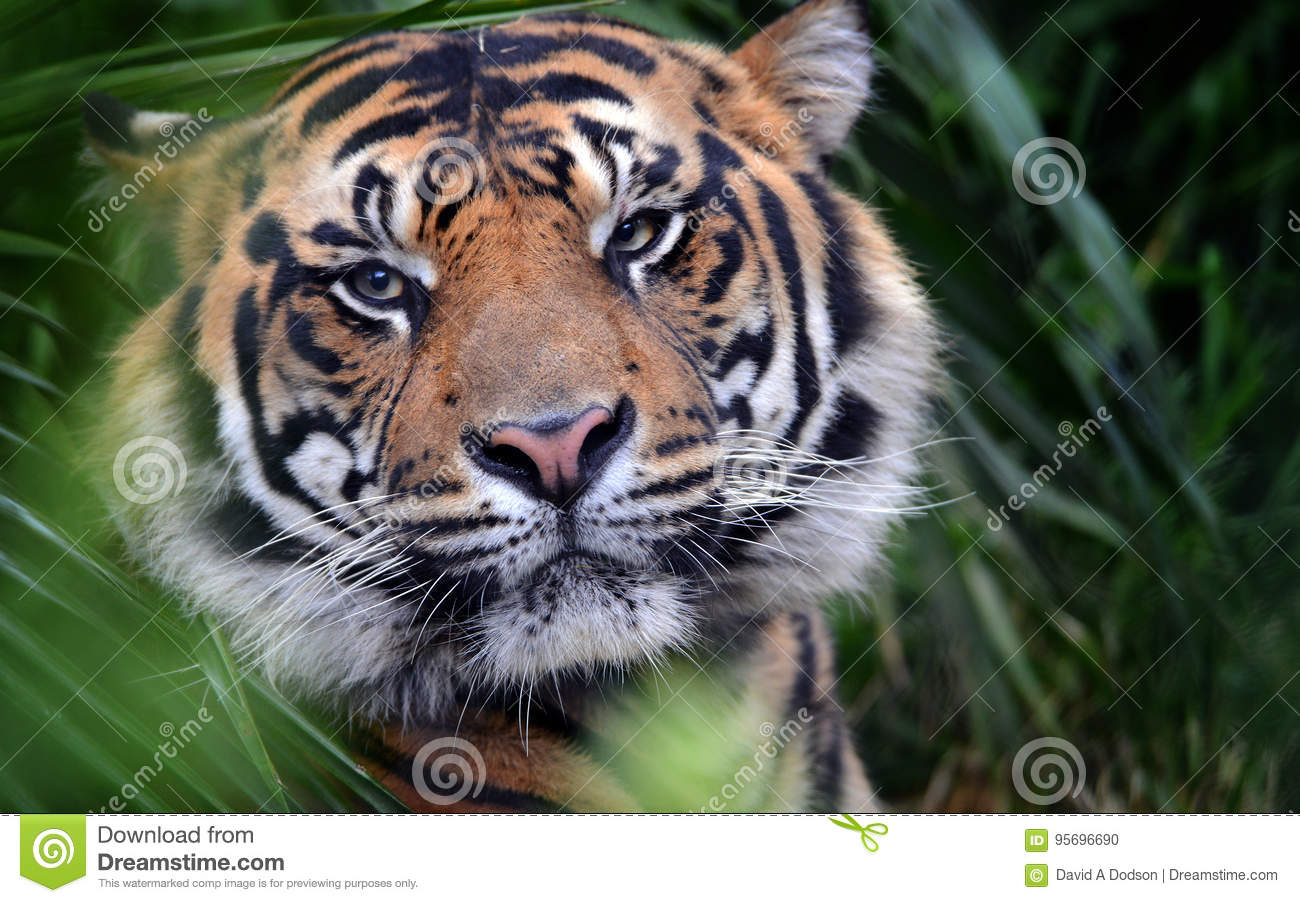 Tiger Face, Close-up, oog-aan Oog