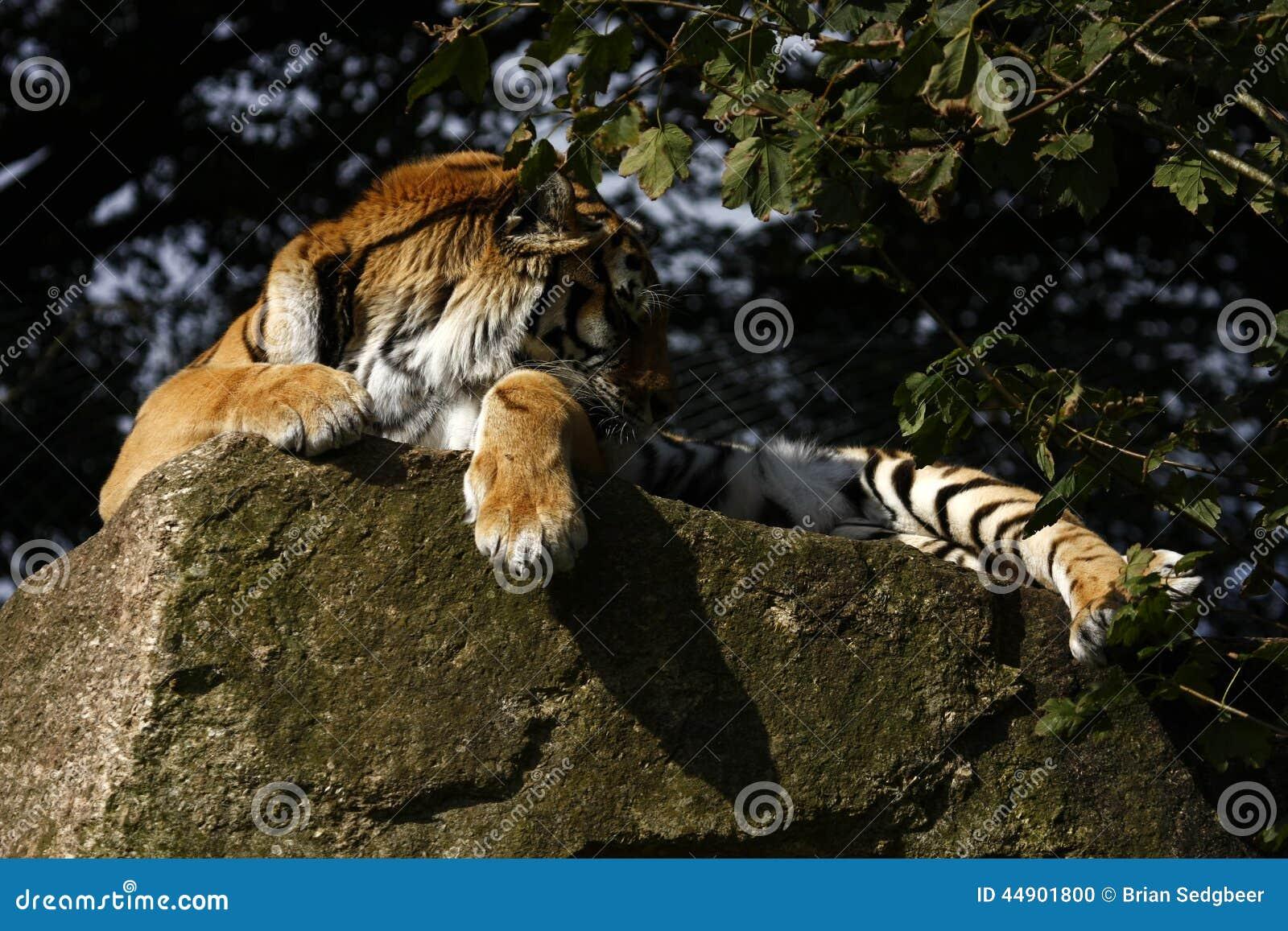 Tiger Feet Stock Photo Image 44901800