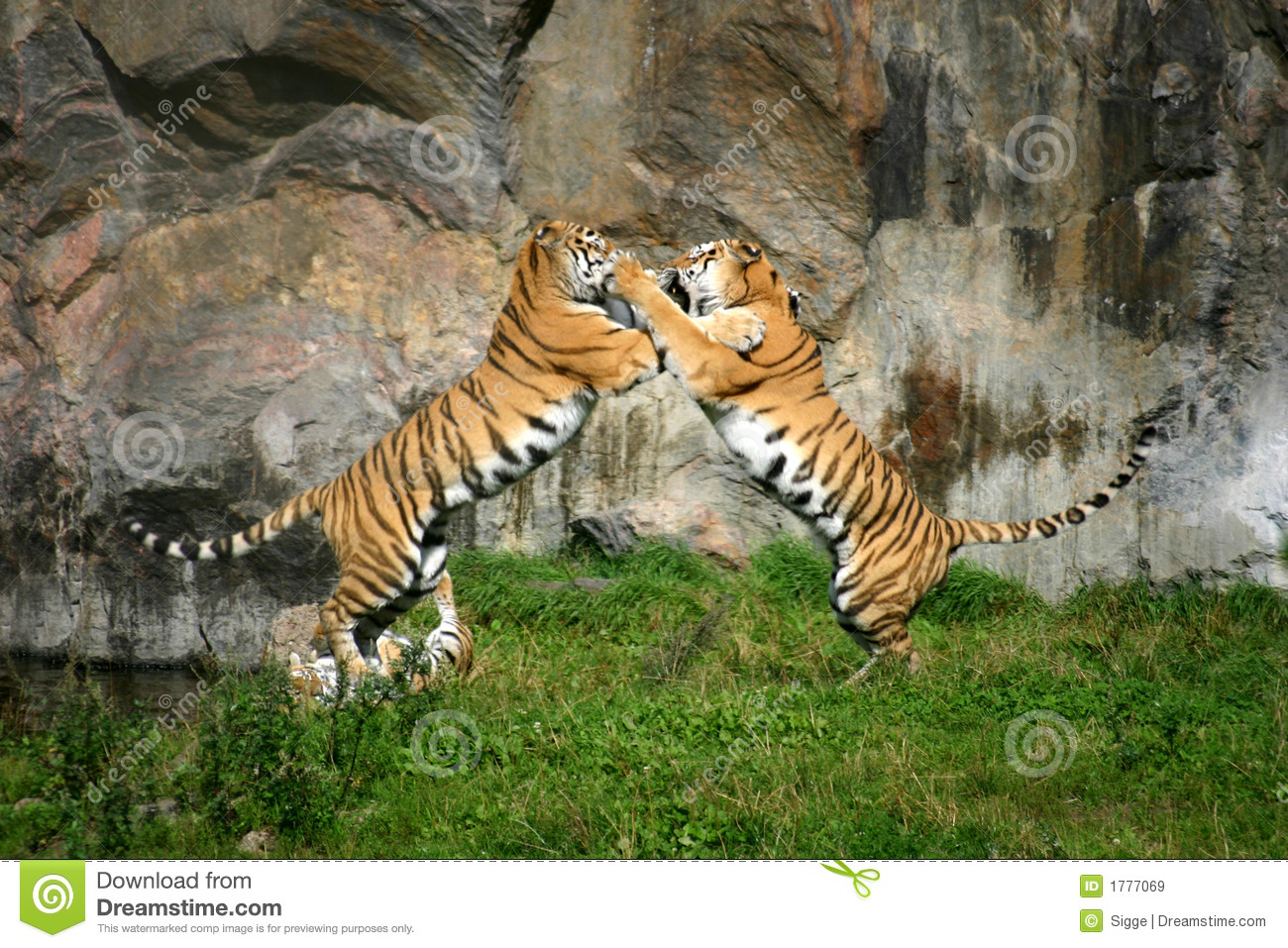 Two adult tigers in a vicious playfight with a rocky backdrop.