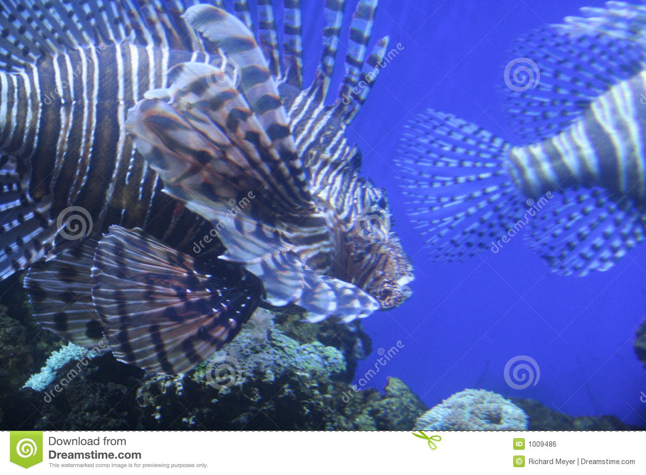 Tiger fish royalty free stock image image 1009486 for Tiger striped fish