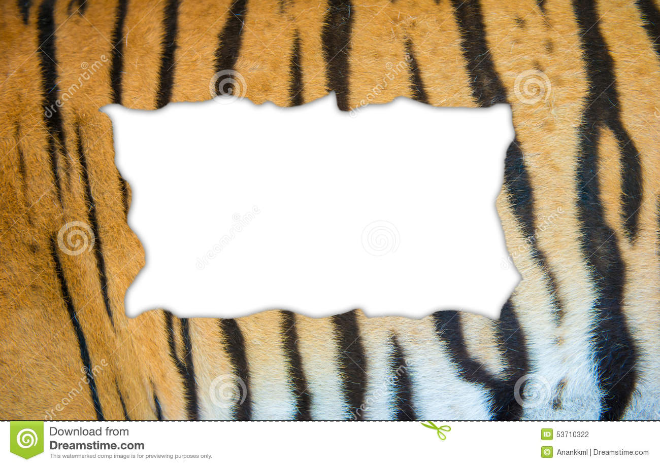 jungle fur bengal tiger Bengal tigers questions including what do rainforest tigers eat and is the bengal tiger will most often mark their it is a genetic mutation of the fur.