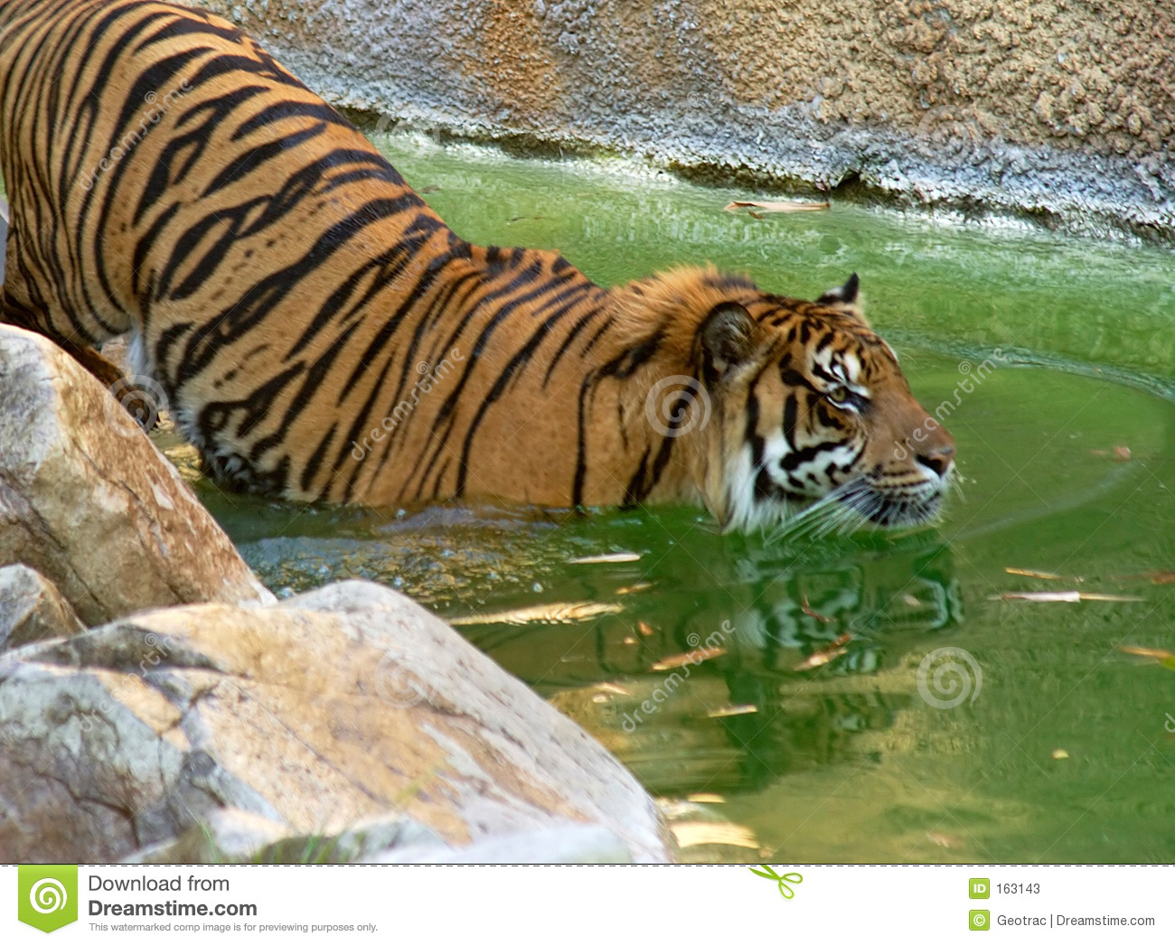 Tiger going for a swim to cool off