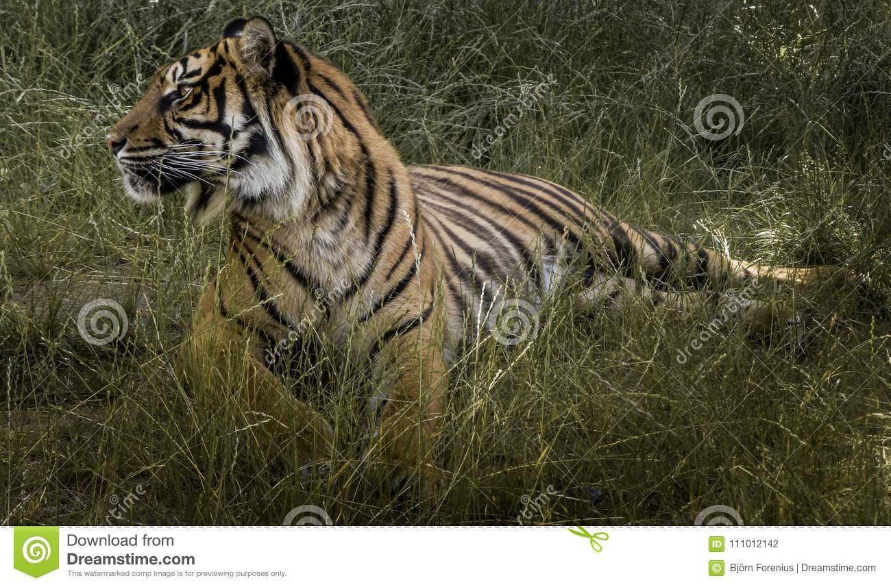 Tiger in the grass