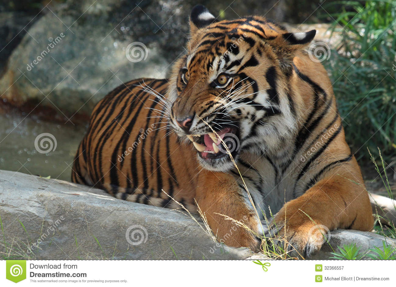 Tiger Growl Stock Image Image Of Bengal India Relaxed