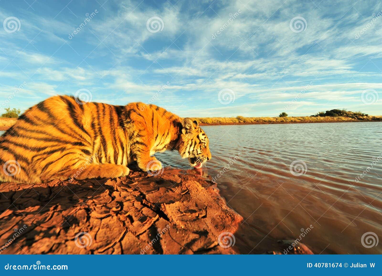 Tiger having a drink