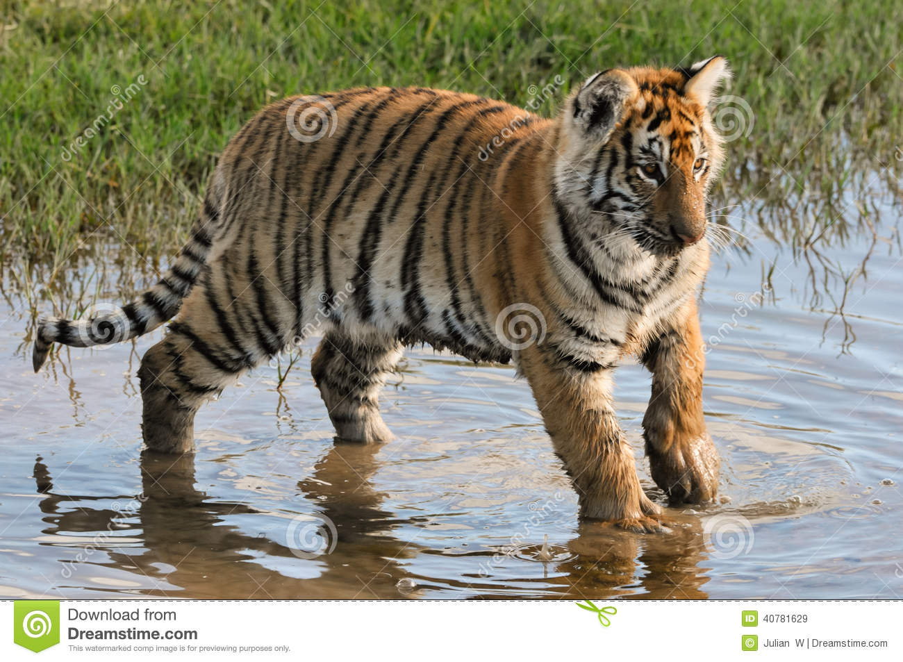 Tiger having fun in the water