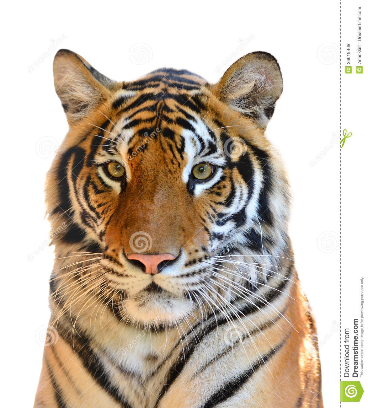 Tiger Head Isolated Royalty Free Stock Photos Image