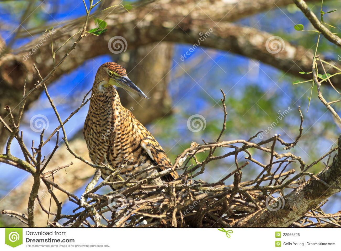 Tiger Heron in Nest