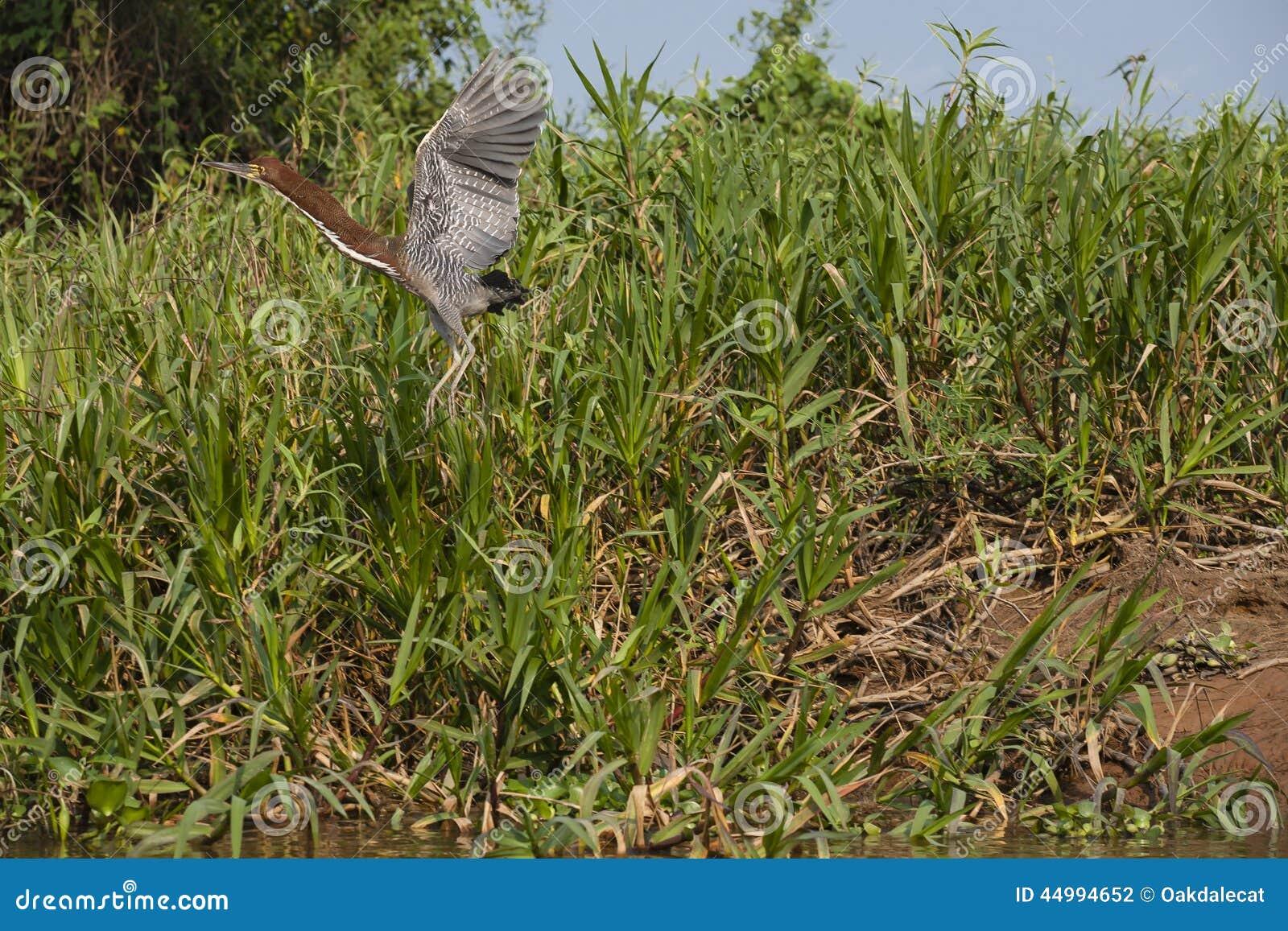 Tiger Heron Taking Off Rufescent en vol