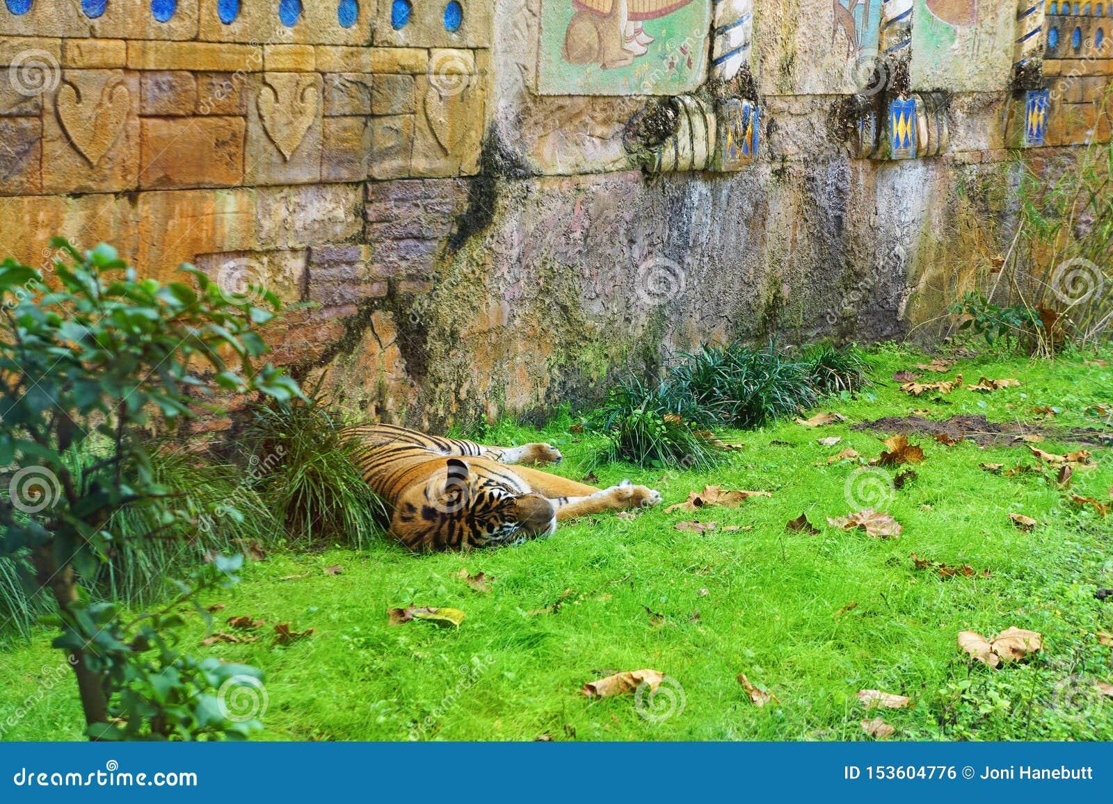 Tiger i ta sig en tupplur för zoo