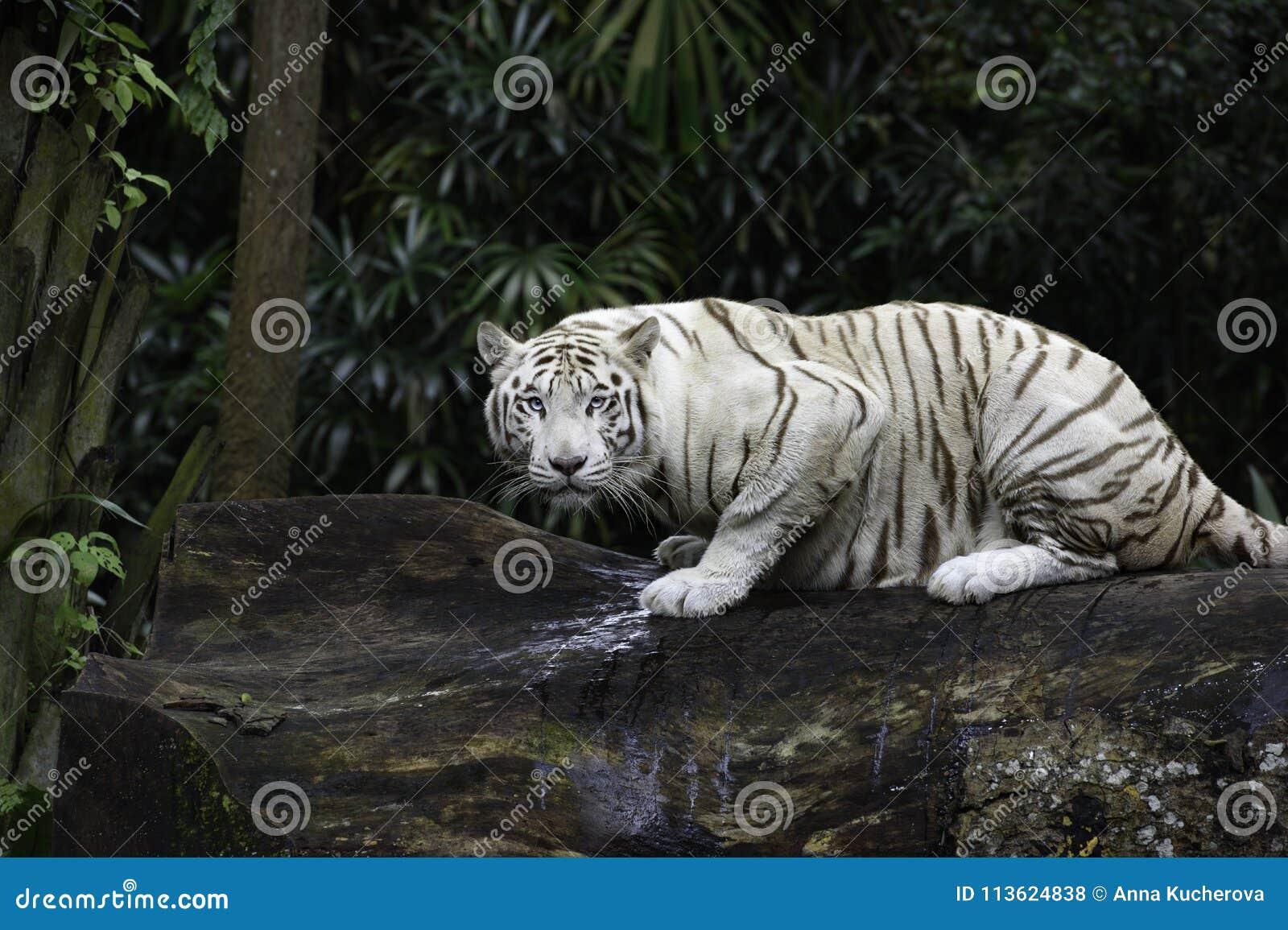 tiger jungle stock photos - download 10,534 images