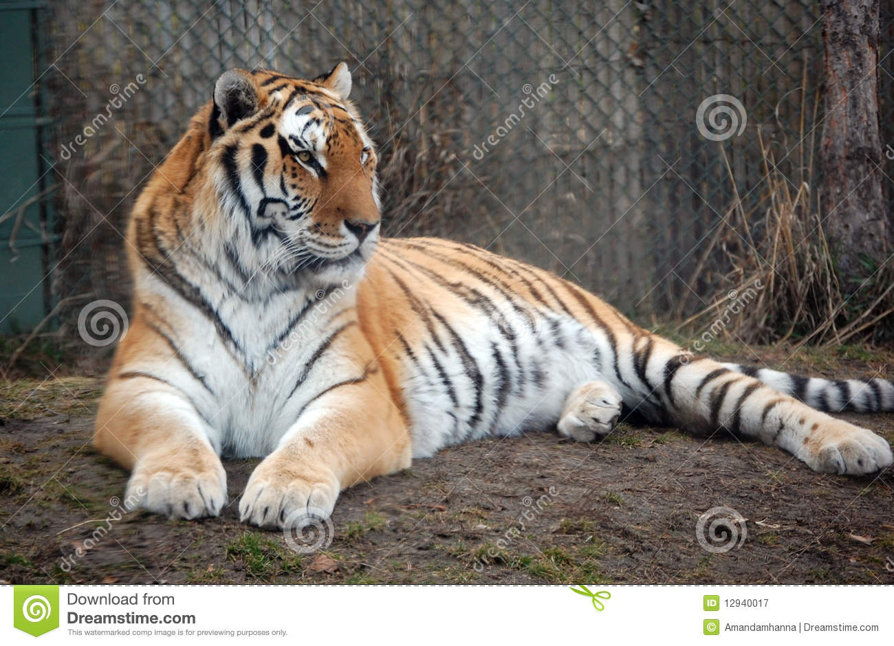 Tiger Laying Around Royalty Free Stock Photography Image