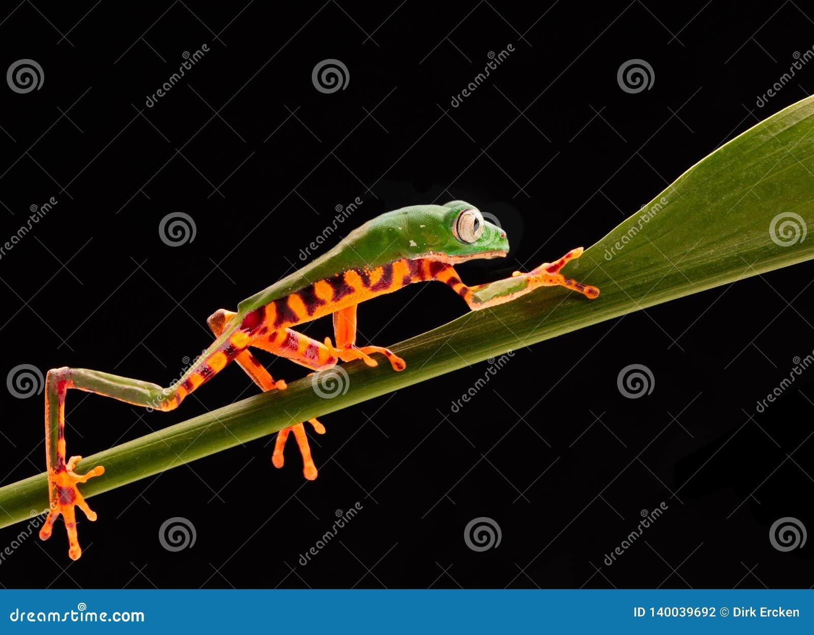 Tiger leg monkey tree frog, Phyllomadusa tomopterna