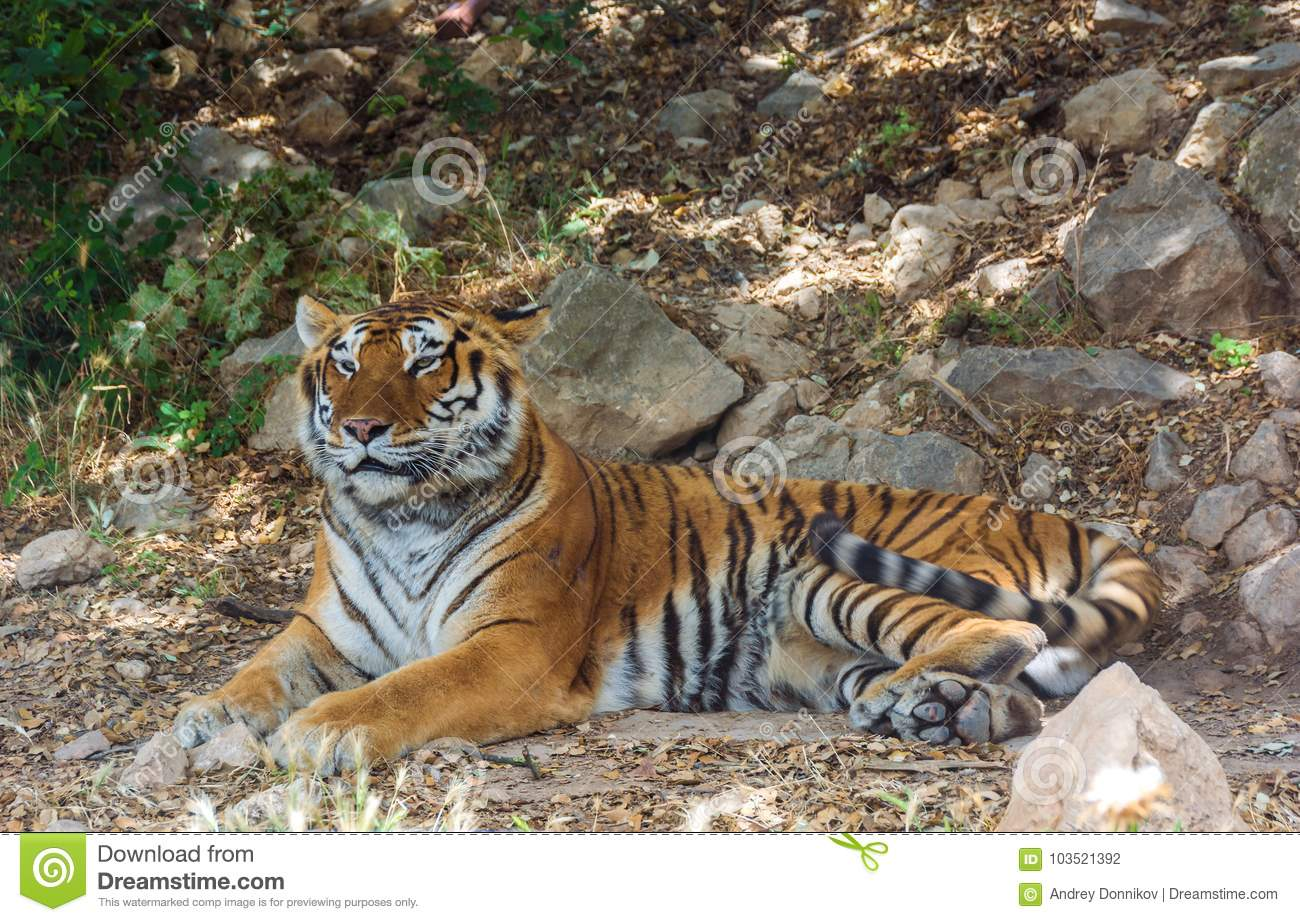 Tiger lies in the shade on the rocks