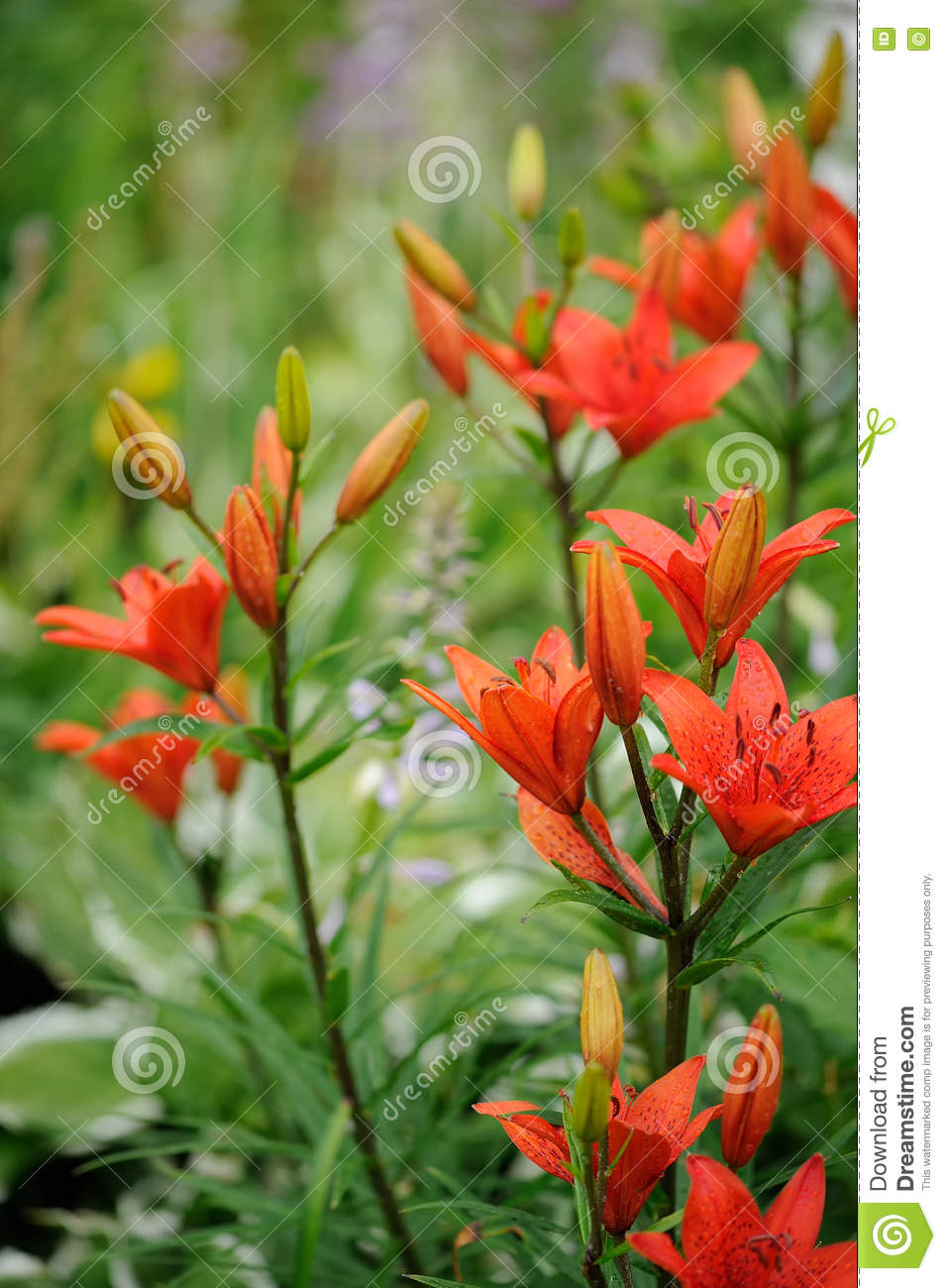 Tiger lilies on flower bed in garden stock photo image of floral tiger lilies on flower bed in garden izmirmasajfo Images