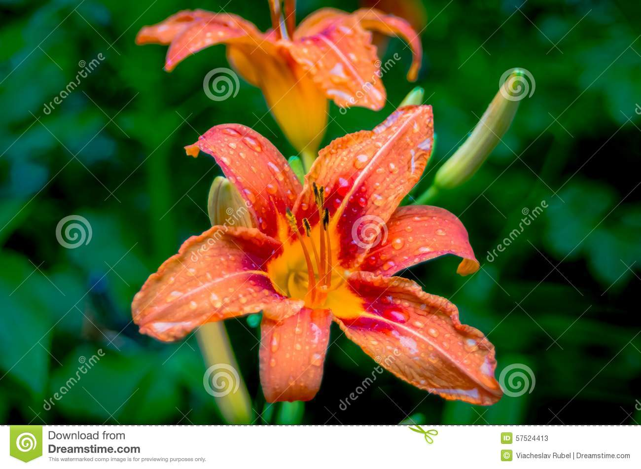 Tiger lilies in garden several species of orange stock image image tiger lilies in garden several species of orange izmirmasajfo