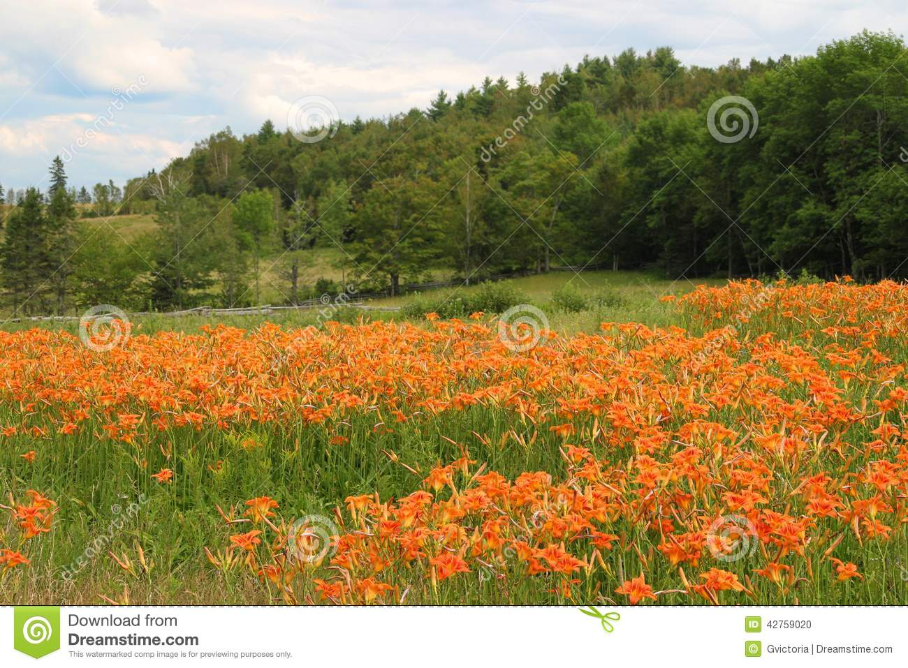 Tiger lilies in the rural field stock photo image of brunswick royalty free stock photo izmirmasajfo Images