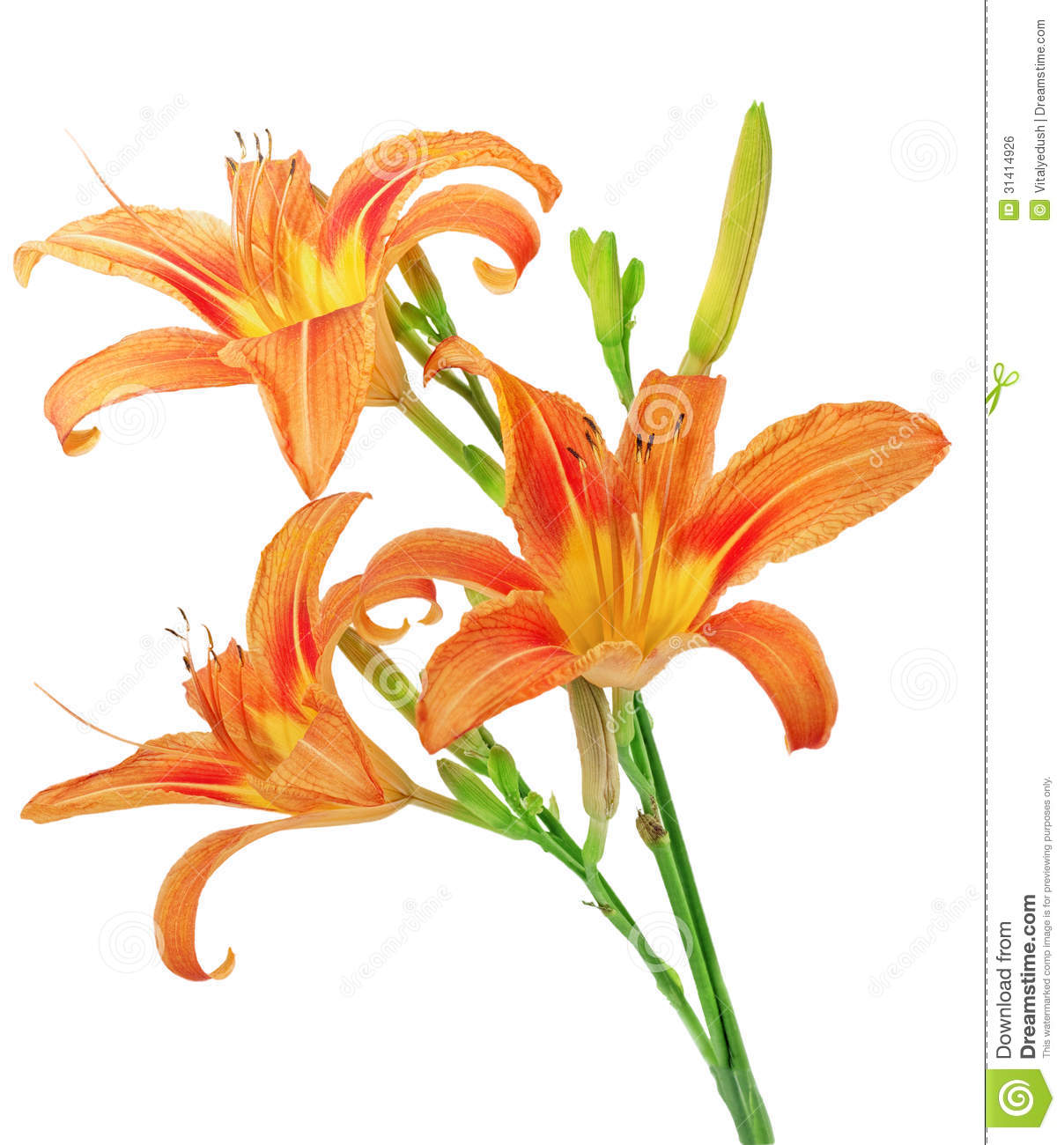 Tiger lilies on white background isolated stock photo image of tiger lilies on white background isolated lillium close izmirmasajfo Images