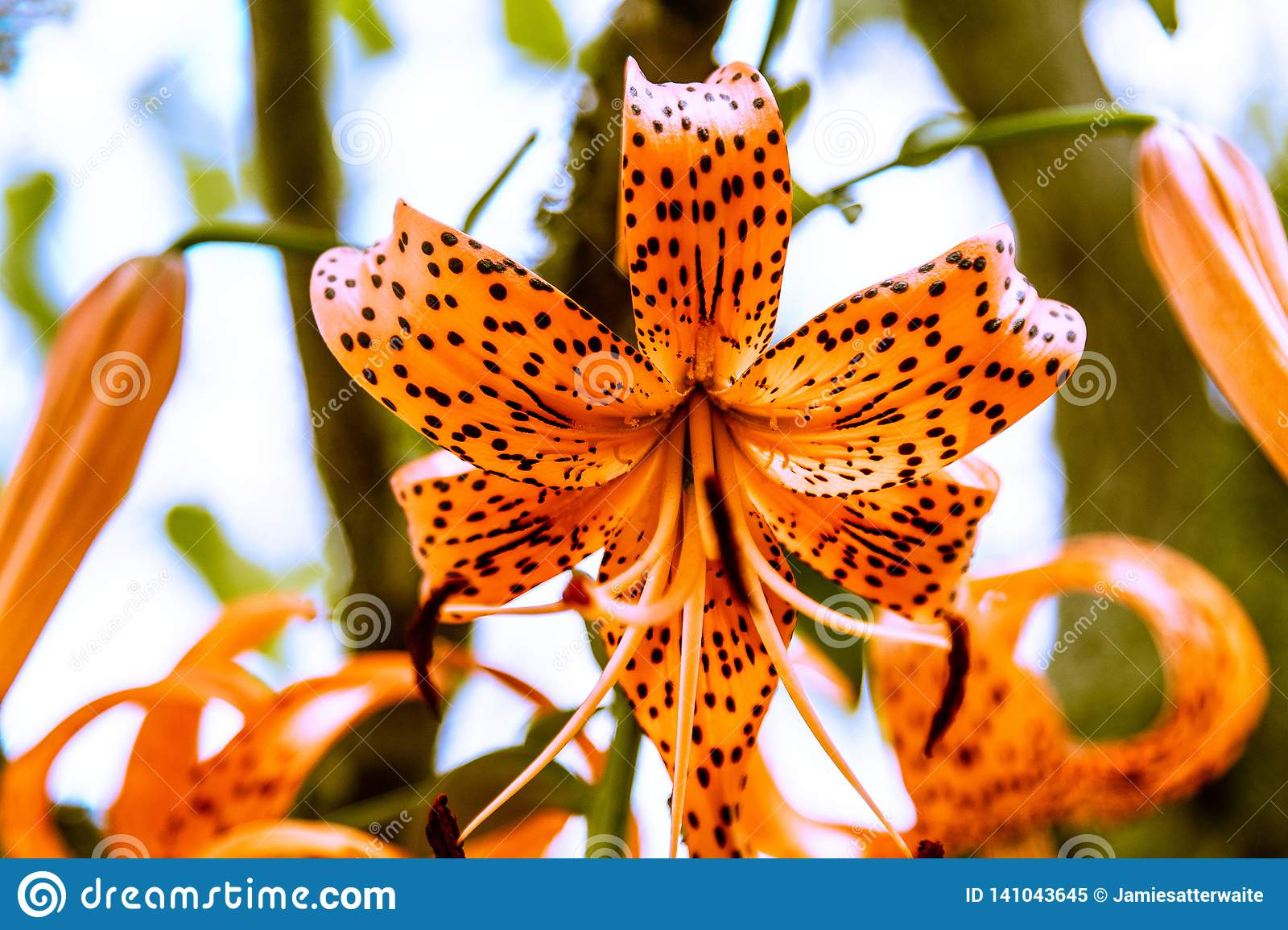 a54da28d01303 Tiger Lilly on a Bright Sunny Day featuring vibrant orange colors with  black spots.