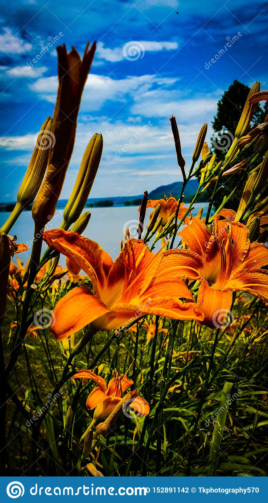 Tiger Lily Facing River
